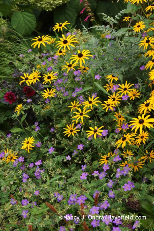Rudbeckia fulgida with Geranium wlassovianum; Nancy J. Ondra at Hayefield