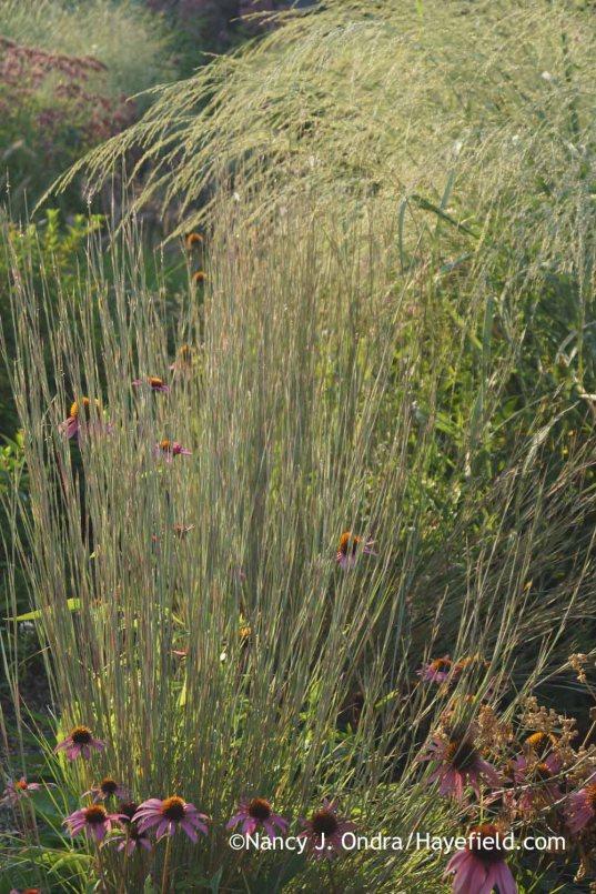 Schizachyrium scoparium 'The Blues' and Panicum amarum 'Dewey Blue'; Nancy J. Ondra at Hayefield