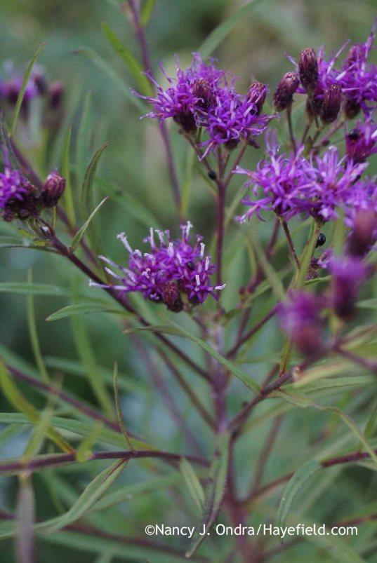 Vernonia lettermannii; Nancy J. Ondra at Hayefield