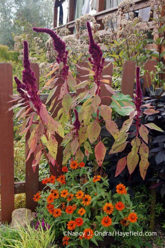 'Elephant Head' amaranth (Amaranthus) and 'Profusion Orange' zinnia; Nancy J. Ondra at Hayefield