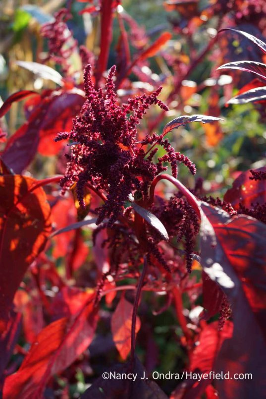 Amaranthus 'Hopi Red Dye'; Nancy J. Ondra at Hayefield