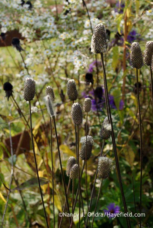 Tall thimbleweed (Anemone virginiana) seedheads; Nancy J. Ondra at Hayefield
