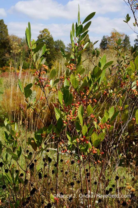 'Brilliantissima' red chokeberry (Aronia arbutifolia); Nancy J. Ondra at Hayefield