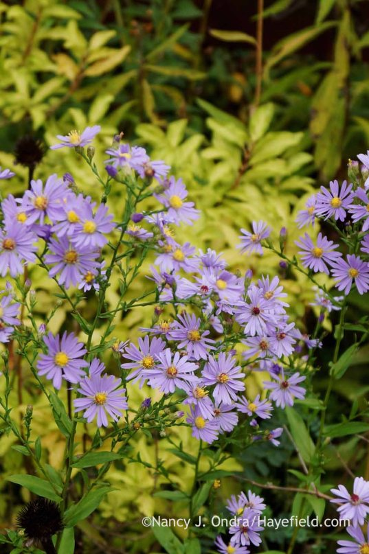 'Bluebird' smooth aster (Symphyotrichum laeve); Nancy J. Ondra at Hayefield