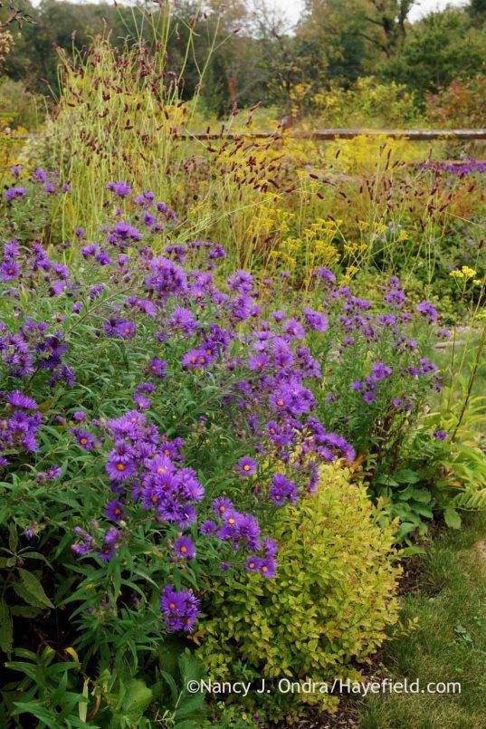 'Hella Lacy' New England aster (Symphyotrichum novae-angliae) with 'Gold Mound' spirea (Spiraea) and purple Japanese burnet (Sanguisorba tenuifolia 'Purpurea'); Nancy J. Ondra at Hayefield