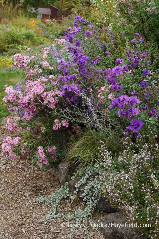 New England asters (Symphyotrichum novae-angliae) with Russian sage (Perovskia), 'Amazon Mist' sedge (Carex), silver ponyfoot (Dichondra argentea), and 'White Cloud' calamint (Calamintha); Nancy J. Ondra at Hayefield