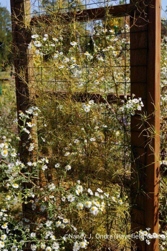 Frost aster (Symphyotrichum pilosum) with climbing asparagus (Asparagus verticillatus); Nancy J. Ondra at Hayefield