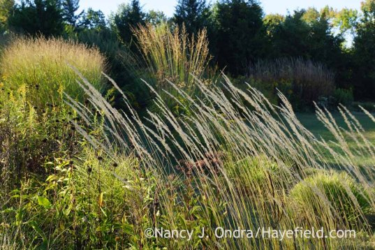 'Karl Foerster' feather reed grass (Calamagrostis x acutiflora) with switch grass (Panicum virgatum) and 'Skyracer' purple moor grass (Molinia caerulea subsp. arundinacea); Nancy J. Ondra at Hayefield
