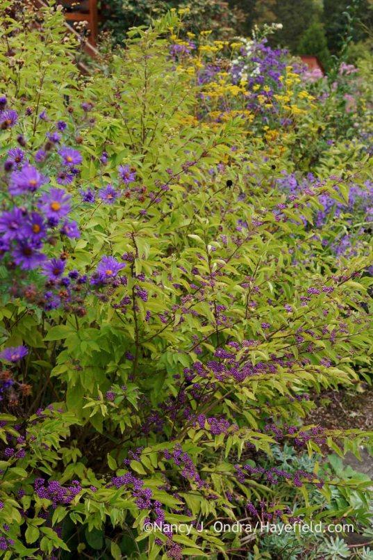'Issai' purple beautyberry (Callicarpa dichotoma); Nancy J. Ondra at Hayefield