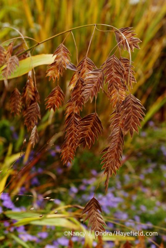 Northern sea oats (Chasmanthium latifolium); Nancy J. Ondra at Hayefield