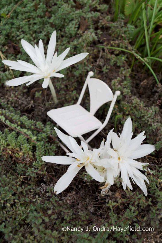 Double white autumn crocus (Colchicum autumnale 'Alboplenum'); Nancy J. Ondra at Hayefield