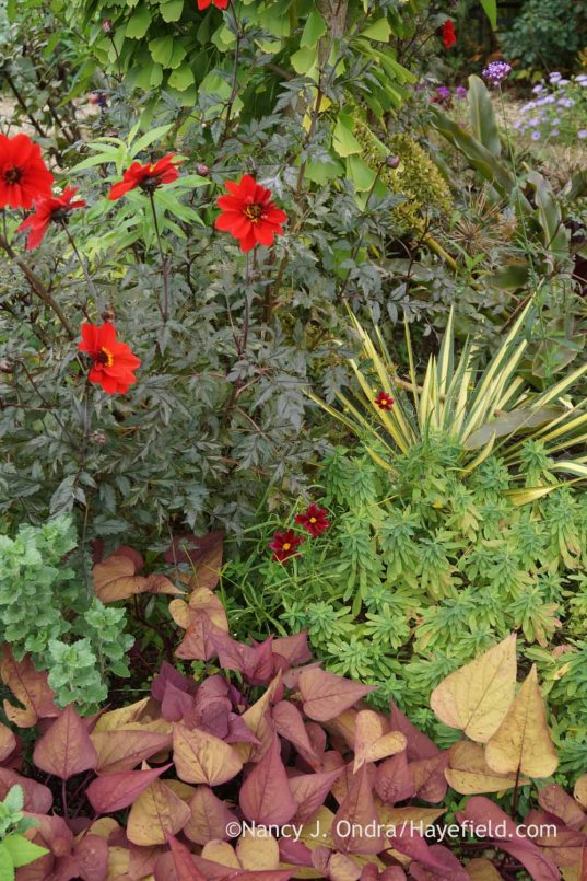 'Bishop of Llandaff' dahlia with 'Golden Sword' Adam's needle (Yucca filamentosa), cushion spurge (Euphorbia polychroma), and 'Sweet Georgia Heart Red' sweet potato vine (Ipomoea batatas); Nancy J. Ondra at Hayefield