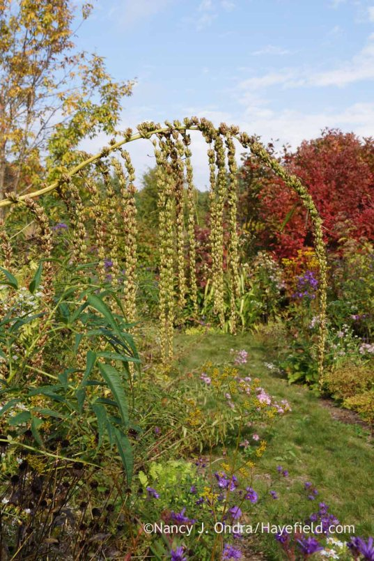 False hemp (Datisca cannabina) in seed; Nancy J. Ondra at Hayefield