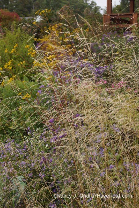 Tufted hair grass (Deschampsia cespitosa); Nancy J. Ondra at Hayefield