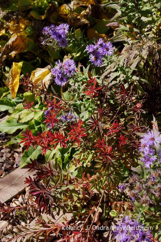 'Chameleon' spurge (Euphorbia dulcis) in fall color with New England aster (Symphyotrichum novae-angliae); Nancy J. Ondra at Hayefield