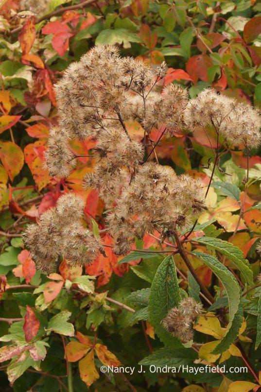 Joe-Pye weed (Eutrochium maculatum) seedhead against Virginia creeper (Parthenocissus quinquefolius) in fall color; Nancy J. Ondra at Hayefield