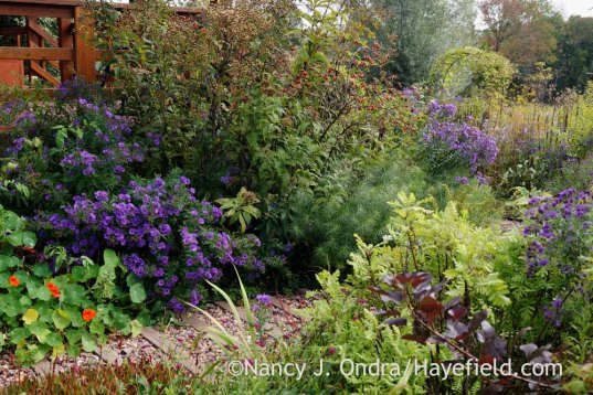 Front garden corner with 'Hella Lacy' New England aster (Symphyotrichum novae-angliae) and 'Isla Gold' tansy (Tanacetum vulgare 'Isla Gold'); Nancy J. Ondra at Hayefield
