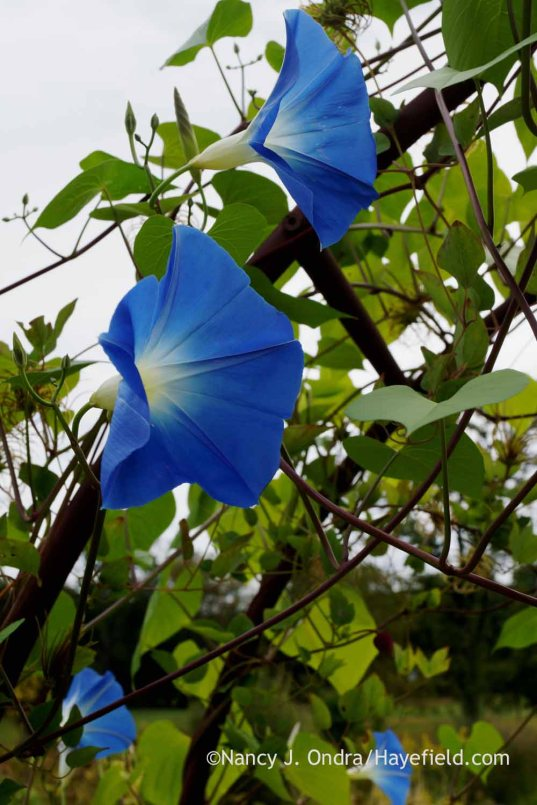 'Clarke's Heavenly Blue' morning glory (Ipomoea tricolor); Nancy J. Ondra at Hayefield