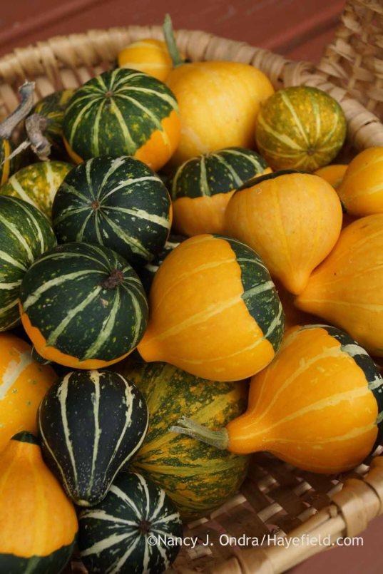 Mini gourds; Nancy J. Ondra at Hayefield