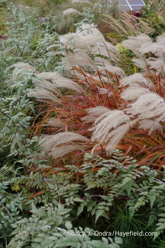 Flame grass (Miscanthus 'Purpurascens') and ghost bramble (Rubus thibetanus); Nancy J. Ondra at Hayefield
