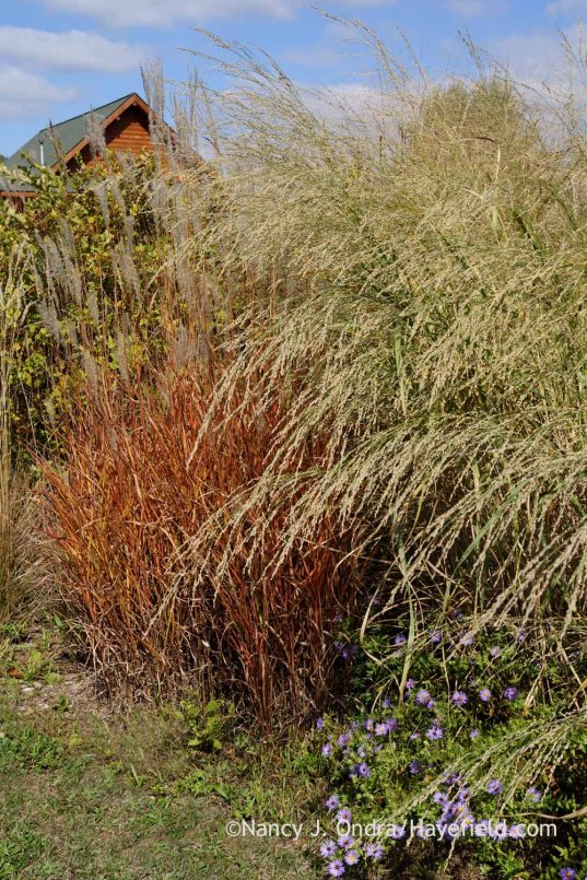 Bitter panic grass (Panicum amarum) and flame grass (Miscanthus 'Purpurascens'); Nancy J. Ondra at Hayefield
