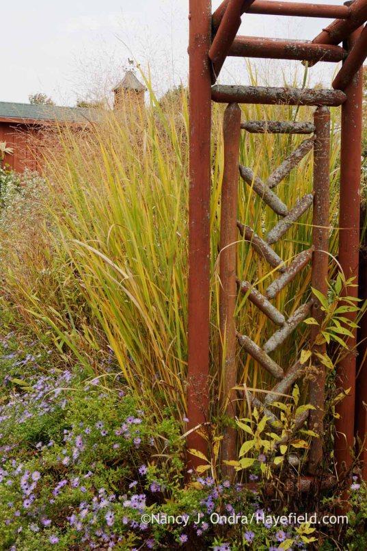 'Cloud Nine' switch grass (Panicum virgatum) in fall color with Aster oblongifolius; Nancy J. Ondra at Hayefield