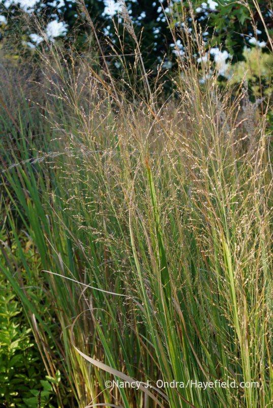 'Dallas Blues' switch grass (Panicum virgatum) seedheads; Nancy J. Ondra at Hayefield