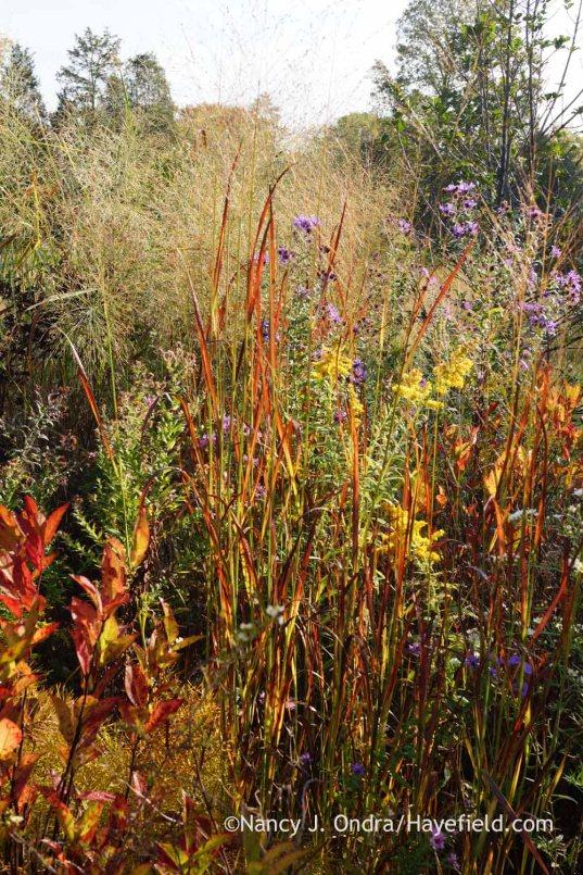 'Huron Solstice' switch grass (Panicum virgatum) fall color; Nancy J. Ondra at Hayefield