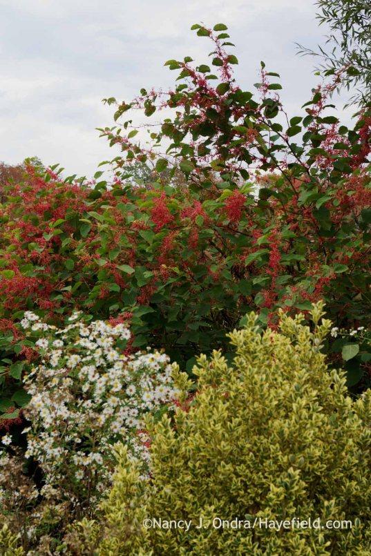 Frost aster (Symphyotrichum pilosum) with 'Crimson Beauty' fleeceflower (Persicaria) and 'Elegantissima' boxwood (Buxus sempervirens 'Elegantissima'); Nancy J. Ondra at Hayefield
