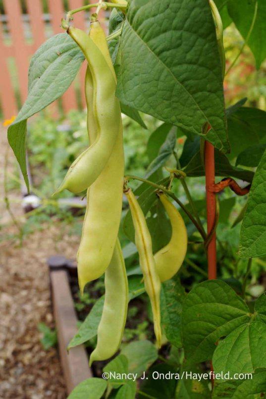 'Merveille de Venise' bean (Phaseolus vulgaris); Nancy J. Ondra at Hayefield