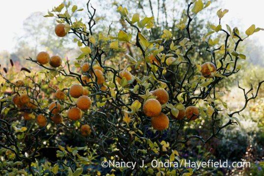 'Flying Dragon' hardy orange (Poncirus trifoliata [Citrus trifoliata]); Nancy J. Ondra at Hayefield