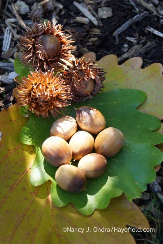 Daimyo oak (Quercus dentata) seeds; Nancy J. Ondra at Hayefield