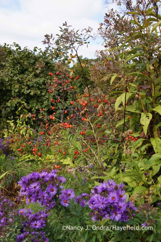 Blue-leaved rose (Rosa glauca) hips; Nancy J. Ondra at Hayefield