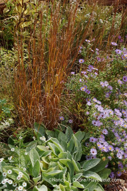 'Blaze' little bluestem (Schizachyrium scoparium) with aromatic aster (Symphyotrichum oblongifolium) and 'Big Ears' lamb's ears (Stachys byzantina); Nancy J. Ondra at Hayefield