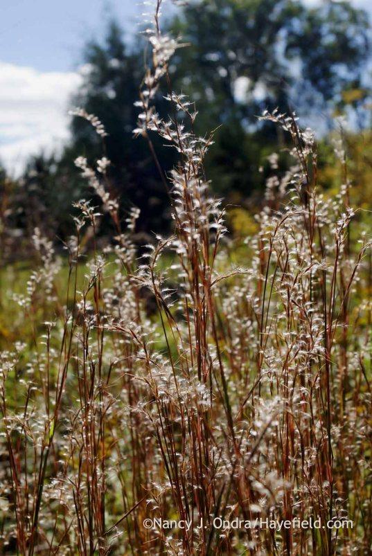 Little bluestem (Schizachyrium scoparium) seedheads; Nancy J. Ondra at Hayefield