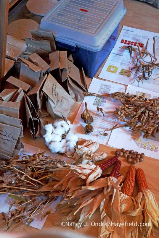 Seeds ready for cleaning; Nancy J. Ondra at Hayefield