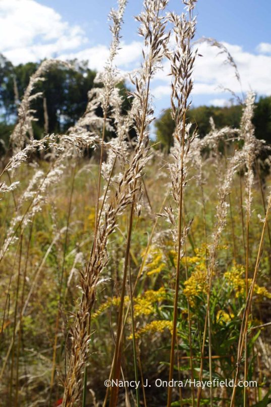 Indian grass (Sorghastrum nutans) seedheads; Nancy J. Ondra at Hayefield