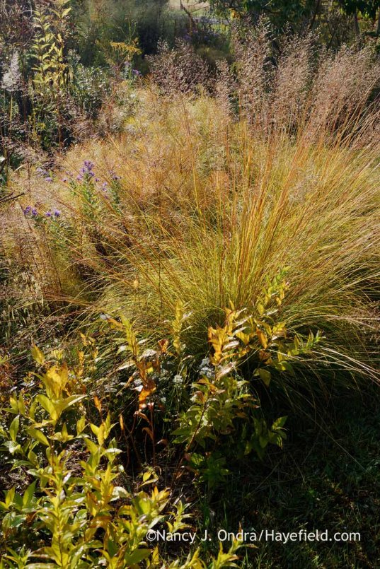 Prairie dropseed (Sporobolus heterolepis) and stiff bluestar (Amsonia rigida) in fall color; Nancy J. Ondra at Hayefield
