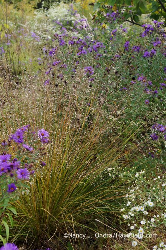Prairie dropseed (Sporobolus heterolepis) with New England aster (Symphyotrichum novae-angliae); Nancy J. Ondra at Hayefield