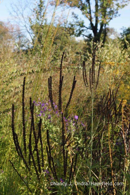 Culver's root (Veronicastrum virginicum) seedheads; Nancy J. Ondra at Hayefield