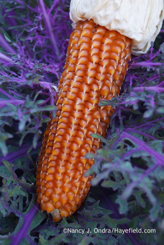 'Pignoletto Giallo' flint corn (Zea mays); Nancy J. Ondra at Hayefield