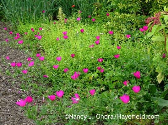 Callirhoe involucrata with Orignaum vulgare Aureum; Nancy J. Ondra at Hayefield