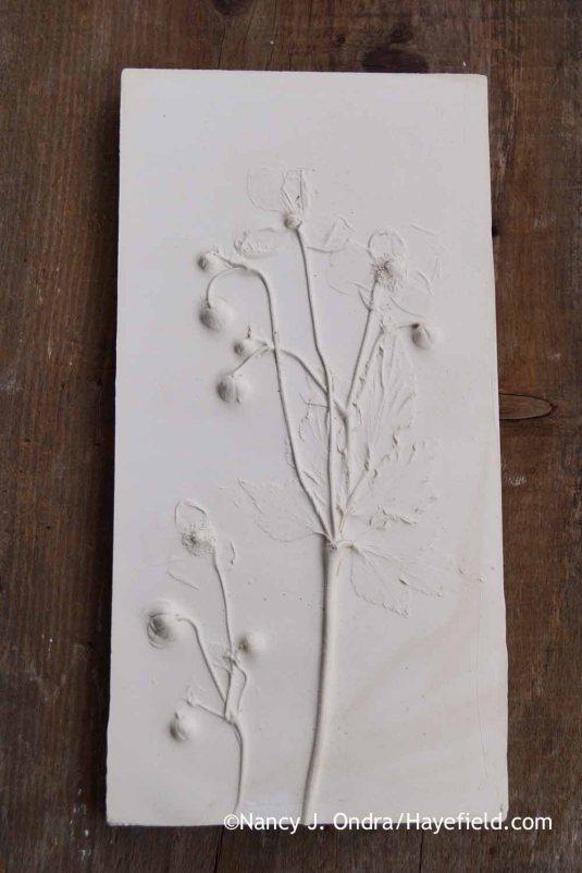 Anemone x hybrida Plaster Tile; Nancy J. Ondra at Hayefield