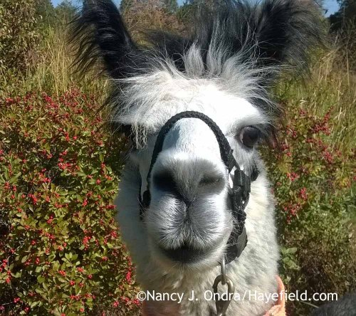 Duncan the Alpaca; Nancy J. Ondra at Hayefield