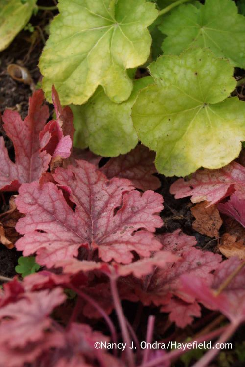 'Honey Rose' foamy bells (x Heucherella) with 'Tiramisu' heuchera (Heuchera); Nancy J. Ondra at Hayefield