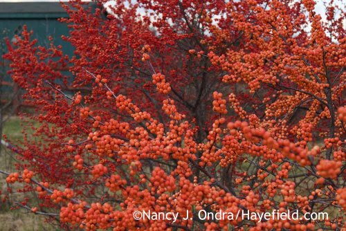 Ilex verticillata 'Winter Gold'; Nancy J. Ondra at Hayefield