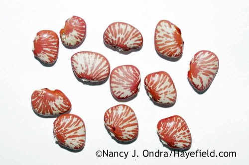 'Ping Zebra' lima bean; Nancy J. Ondra at Hayefield