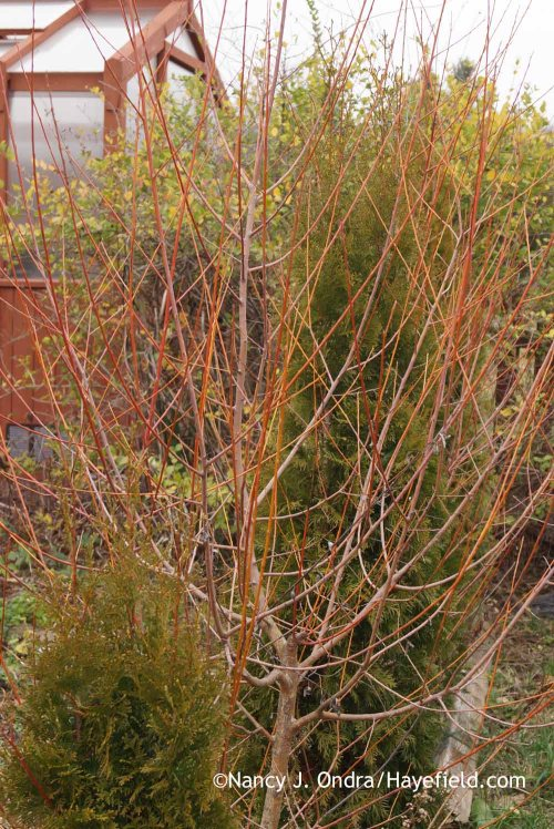 'Britzensis' willow (Salix alba); Nancy J. Ondra at Hayefield