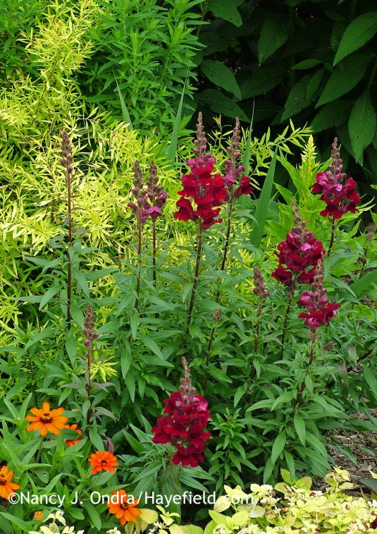 'Black Prince' snapdragon (Antirrhinum majus) with 'Profusion Orange' zinnia and Mellow Yellow spirea (Spiraea thunbergii 'Ogon') in early July; Nancy J. Ondra at Hayefield
