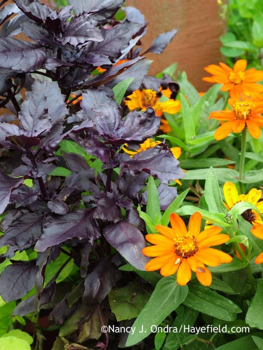 'Osmin' basil (Ocimum basilicum) with 'Profusion Orange' zinnia in mid-August; Nancy J. Ondra at Hayefield